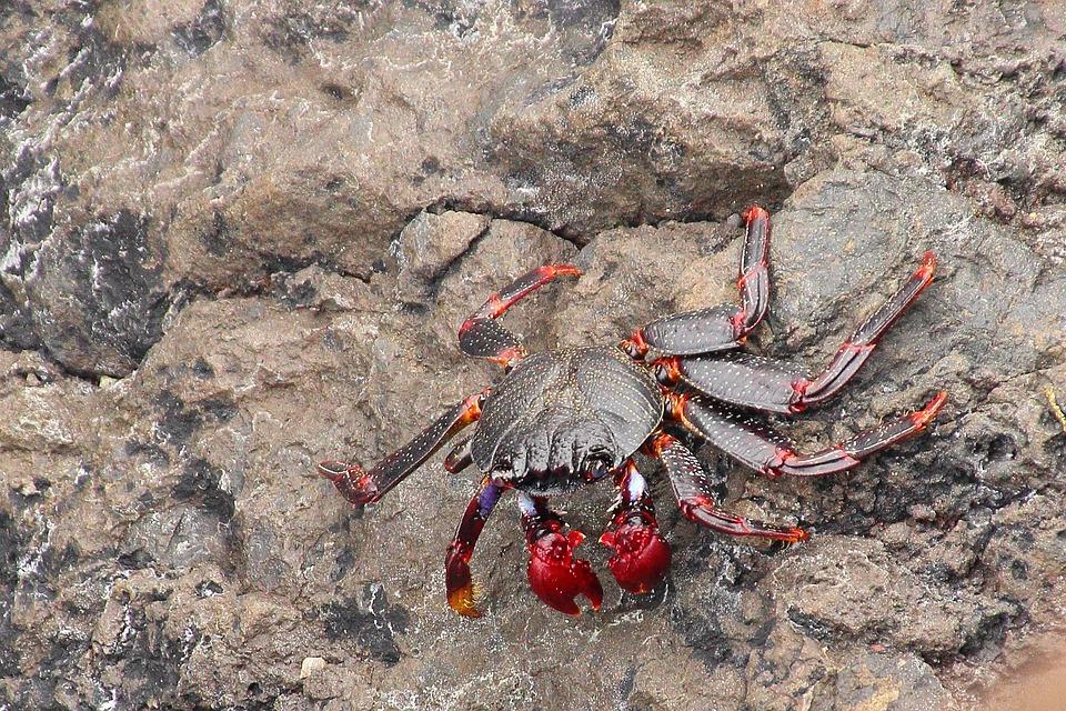 Crab, Cancer, Pliers, Rock, Shellfish