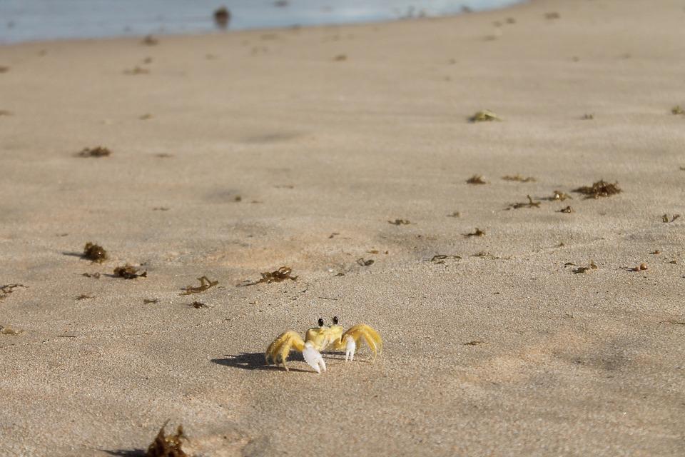 Crab, Sea, Beach, Sand, Cancer, Summer, Outdoor