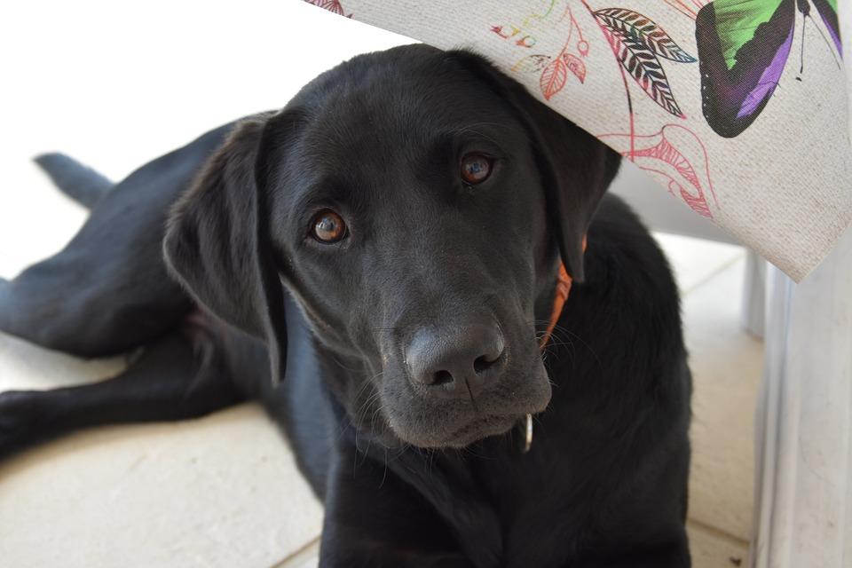 Labrador, Dog, Animal, Cute, Canine, Canidae, Animals