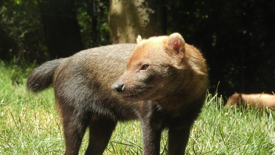 Dog Jungle, The Tiny Beast, Canidae, Wild Dog