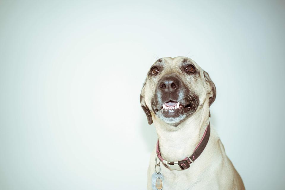 Adorable, Animal, Breed, Canine, Cute, Dog, Dog Collar