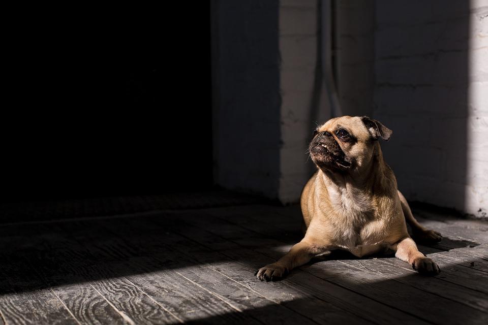 Top Pug Canine Adorable Dog - Canine-Animal-Cute-Dog-Adorable-Pug-Pet-1867725  HD_1710065  .jpg