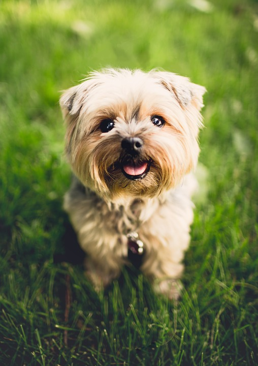 Terrier, Dog, Puppy, Animal, Breed, Canine, Adorable
