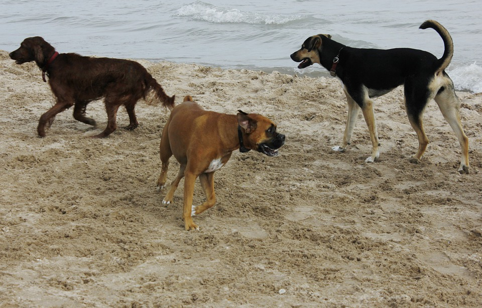 Dogs, Beach, Pet, Animal, Water, Canine, Domestic