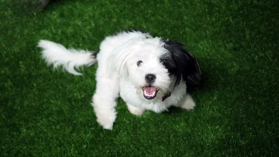 Dog, Canine, Mammal, Pet, Animal, Cute, Puppy, Grass