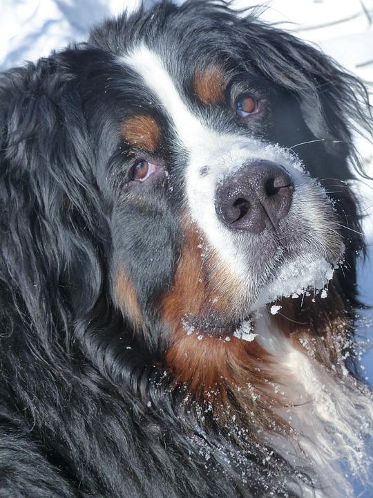 Bernese Mountain Dog, Pet, Animal, Mammal, Canine