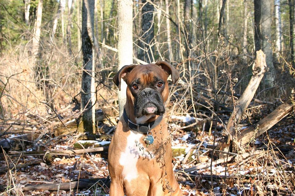 Dog, Boxer, Sitting, Woods, Canine, Animal, Pet, Fall