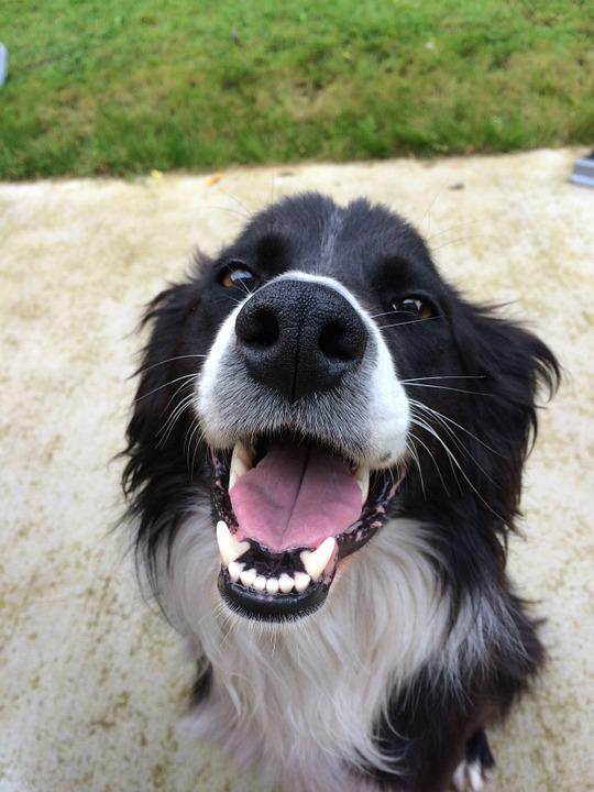 Dog, Collie, Cute, Canine, Pet, Breed, Dog Playing