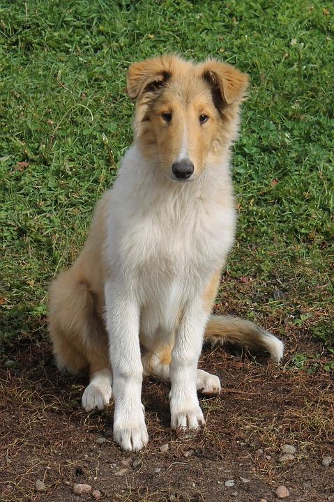 Collie, Dog, Farm, Pet, Canine, Cute, Animal, Happy