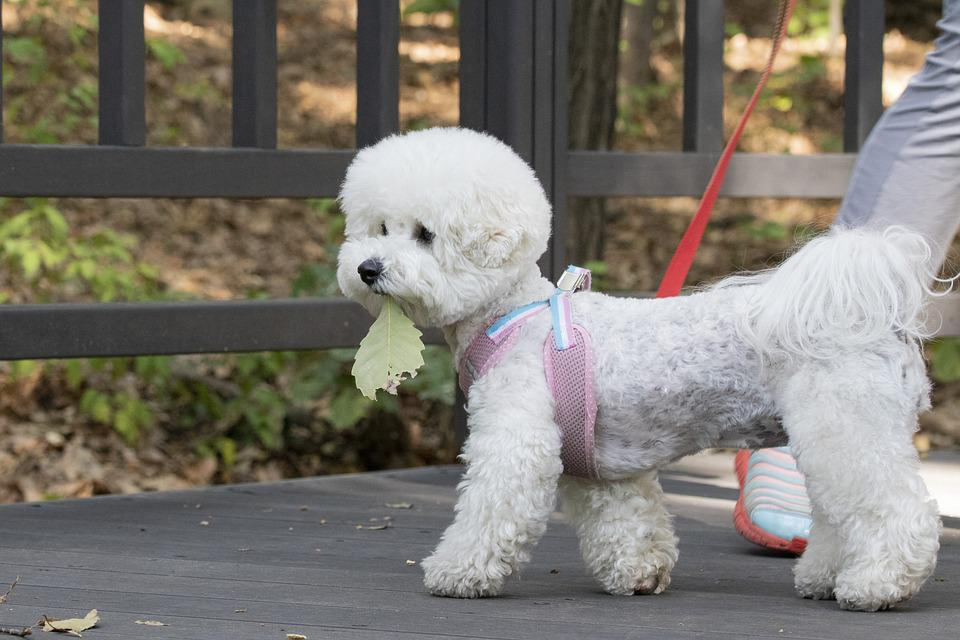 Pet Dogs, Canine Companion, Walk, Dog, Cute, Consensus