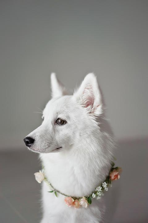 White, Puppy, Corolla, Canine Companion, Animal, Dog