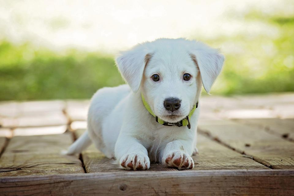 Free Photo Canine Cute Adorable White Puppy Dog Animal Pet Max Pixel