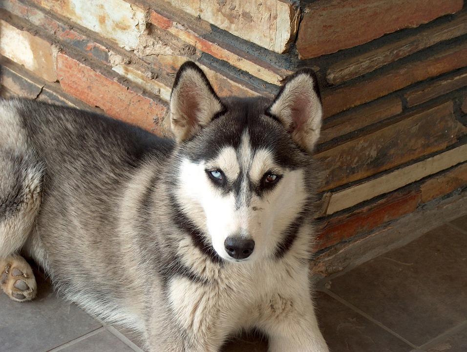 Husky, Dog, Pet, Animal, Canine, Siberian, Mammal