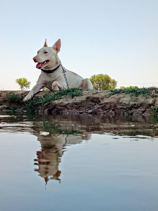 Dog, Canine, Reflection, Pet, Pitbull, Water