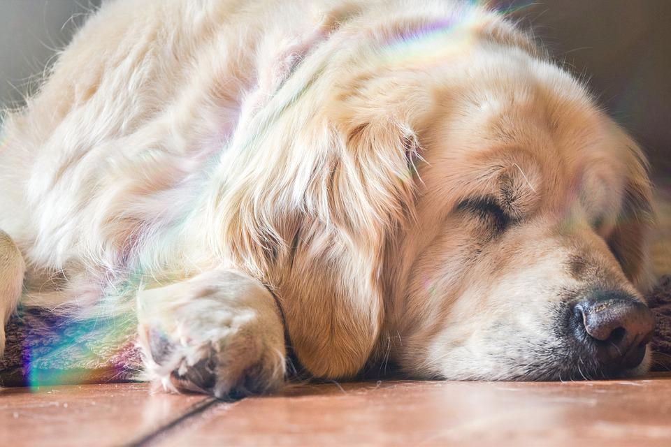 Dog, Puppy, Golden, Retriever, Animal, Canine, Pet