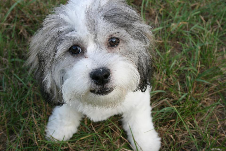 Cute, Animal, Dog, Doggy, Canine, Puppy, White, Gray