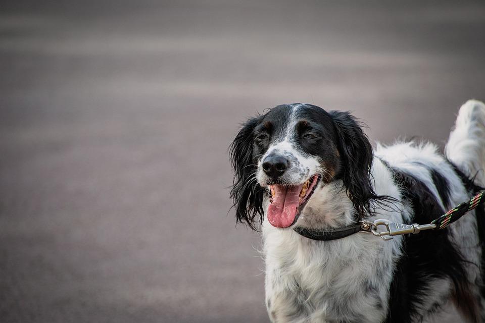 Hunting Dog, Large Munsterlander, Pet, Canine, Dog