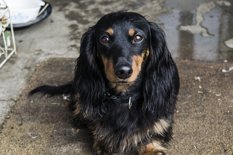 Dog, Dachshund, Pet, Animal, Puppy, Canine, Purebred