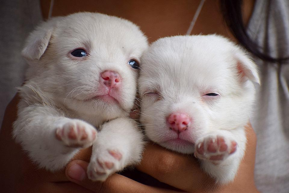 puppies cute puppy dog young animal pet dogs canine flea treatment pixel facts max easily need cup