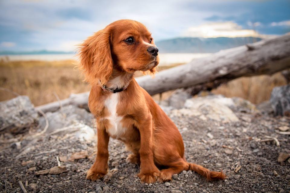 Dog, Pet, Puppy, Animal, Canine, Cute, Domestic, Fur