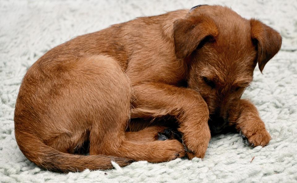 Dog, Irish Terrier, Pet, Canine, Animal, Puppy, Lying