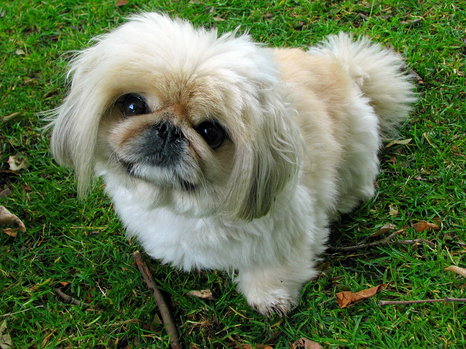 Pekingese, Dog, Pet, Canine, Animal, Sitting, Portrait