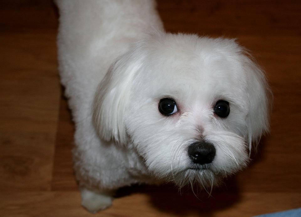 Maltese, White, Dog, Canine, Pet, Pedigree, Purebred