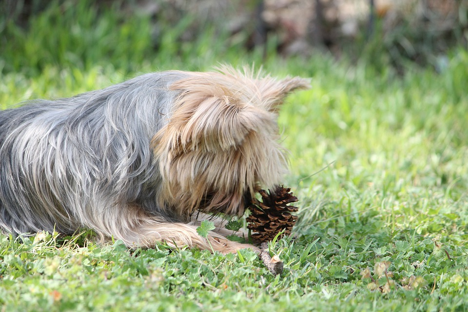 Haley, Yorkie, Terrier, Dog, Pet, Canine