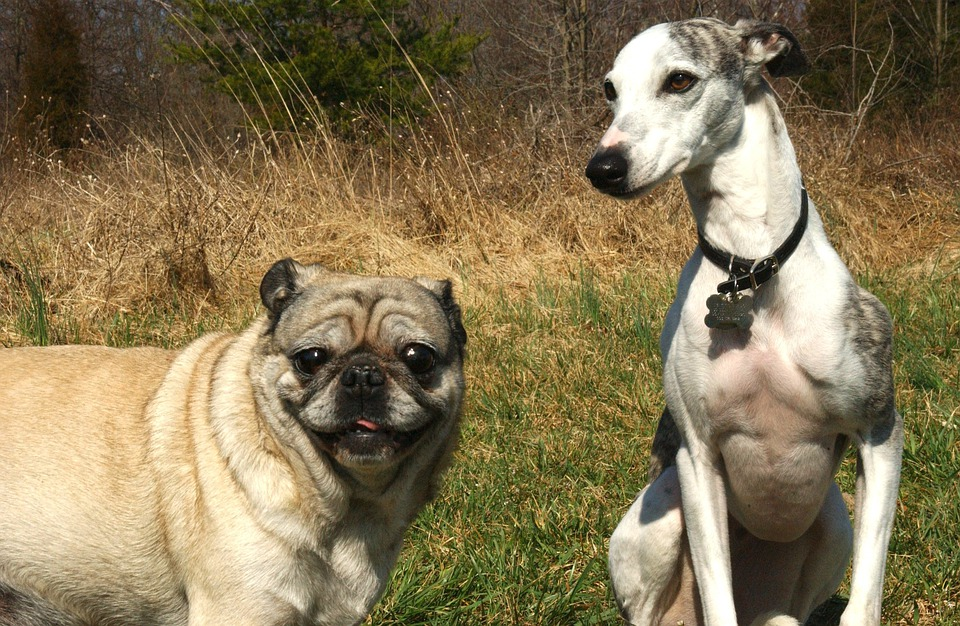 Pug, Whippet, Dogs, Canines, Animals, Pets, Nature