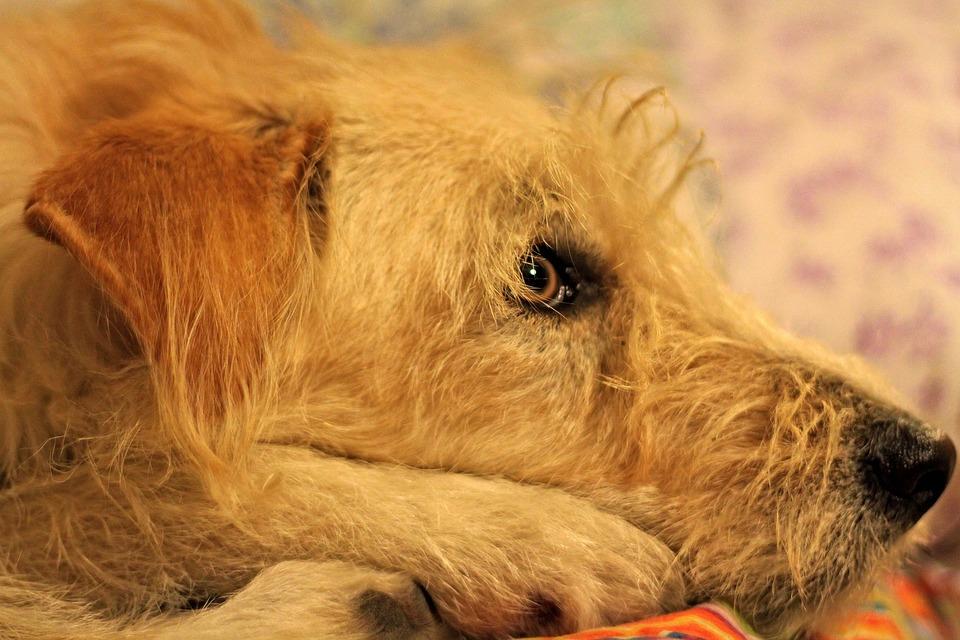 Dog, Muzzle, Blonde, Eyes, Animals, Canino, Pet