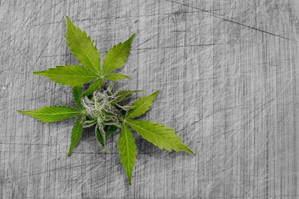 Leaf, Nature, Flora, Cannabis, Desktop, Marijuana, Hash