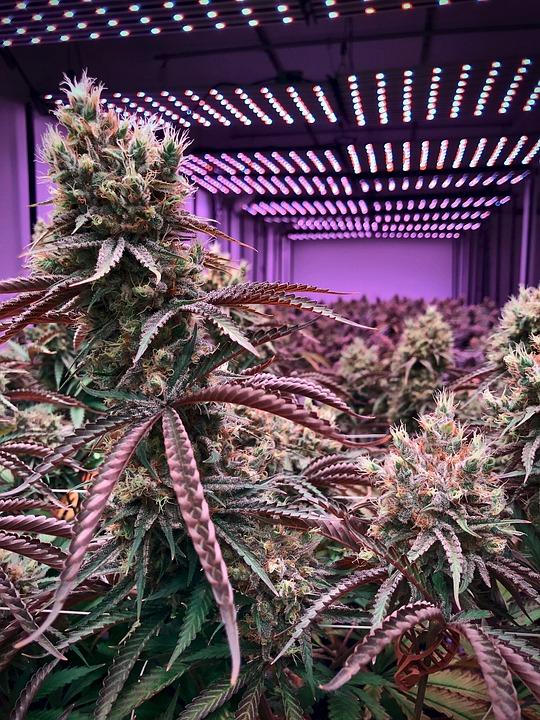 Cannabis, Plant, Weed, Marijuana