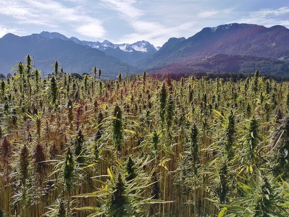 Hemp Field, Hemp Plants, Cannabis Sativa, Hemp Seed Oil