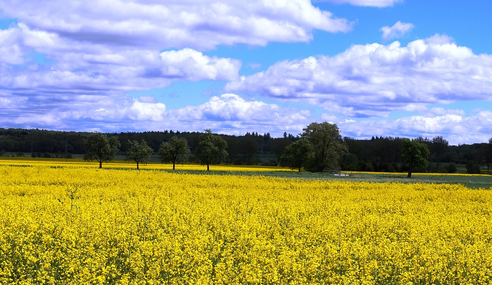 Rapeseed, Colza, Canola, Field, Flowers, Yellow, Clouds