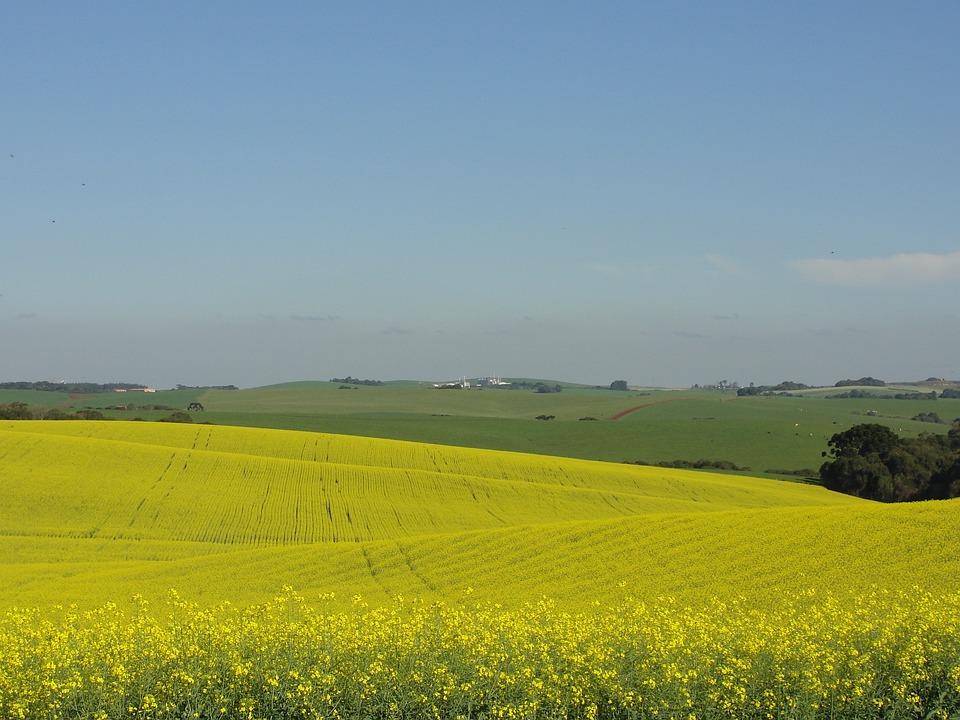 Fields, Canola, Flower, Nature