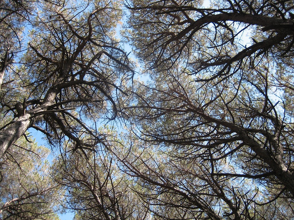 Pine Forest, Canopy, Tuscany, Coniferous Forest, Trees