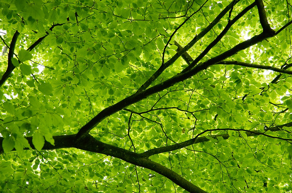 Canopy, Tree, Beech, Leaves, Green, Spring, Aesthetic