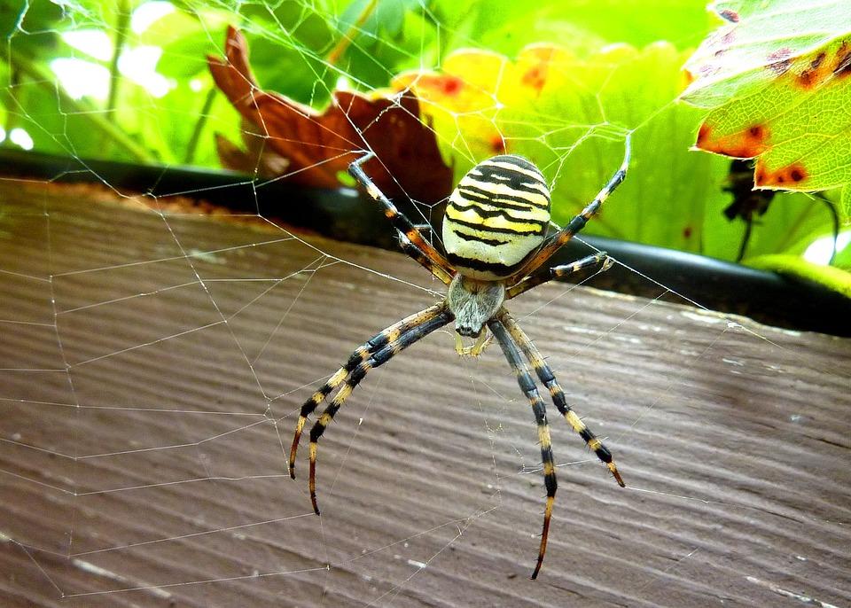 Spider, Hornet, Pretty, Canvas, Insect, Asset, Predator