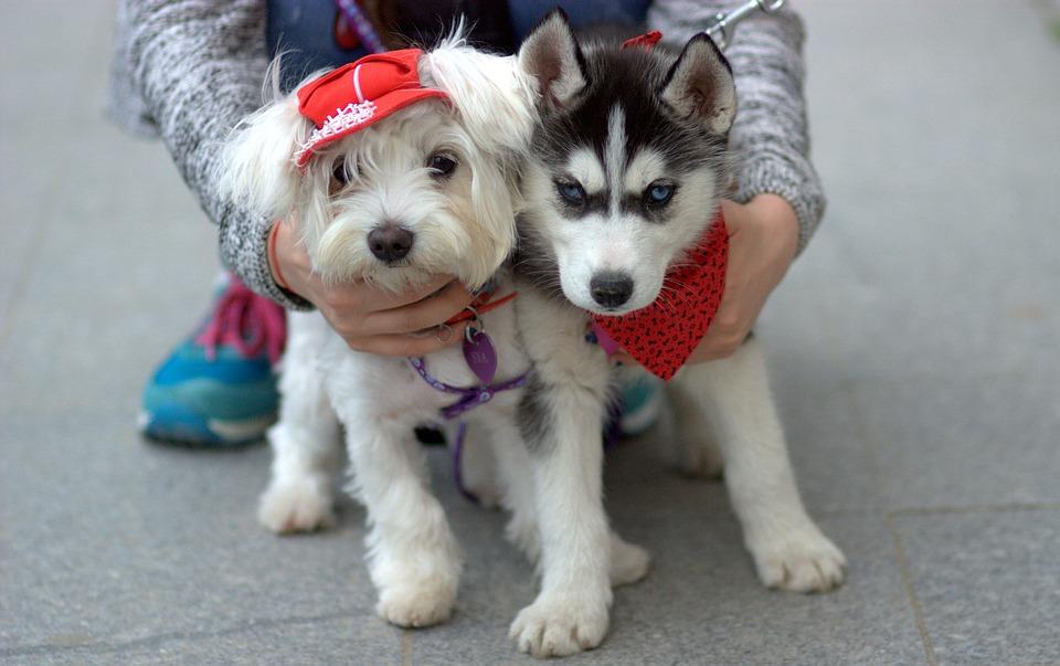 Dog, Husky, Bichon, Pair, White, Cap, Cute