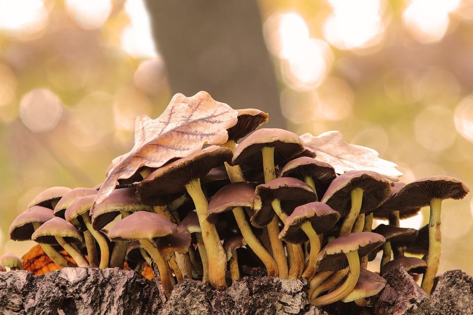 Mushrooms, Grebes, Autumn, Toxic, Stump, Leaflet, Cap