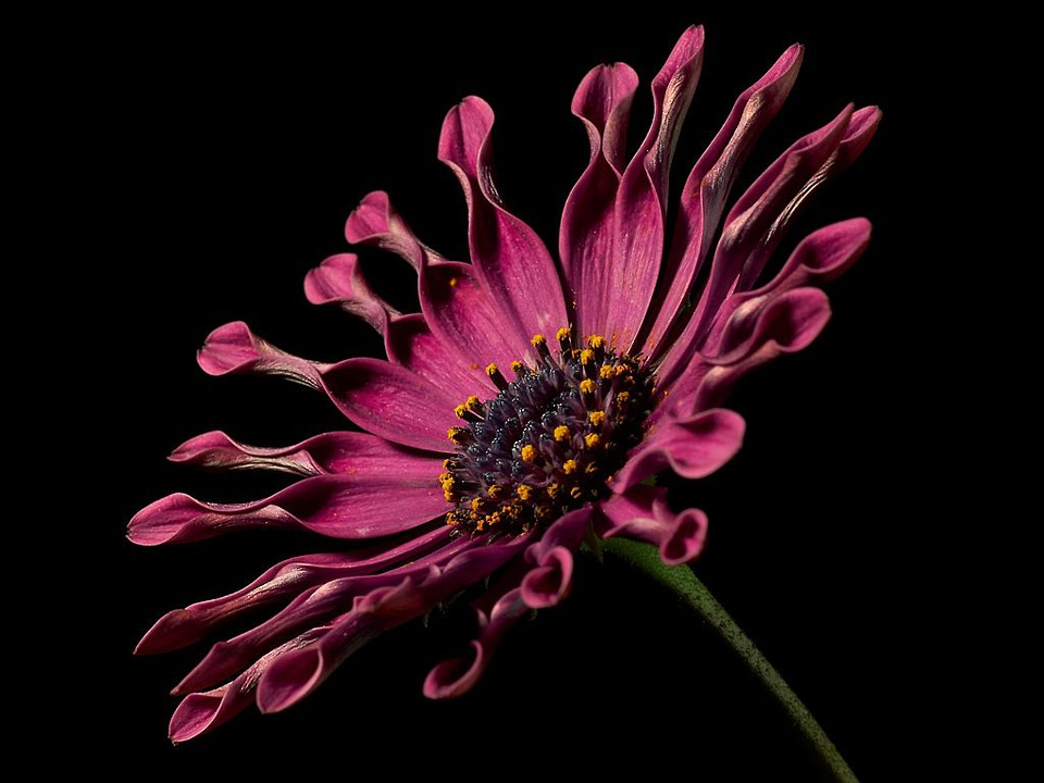 Cape Basket, Pink, Osteospermum, Cape Daisies