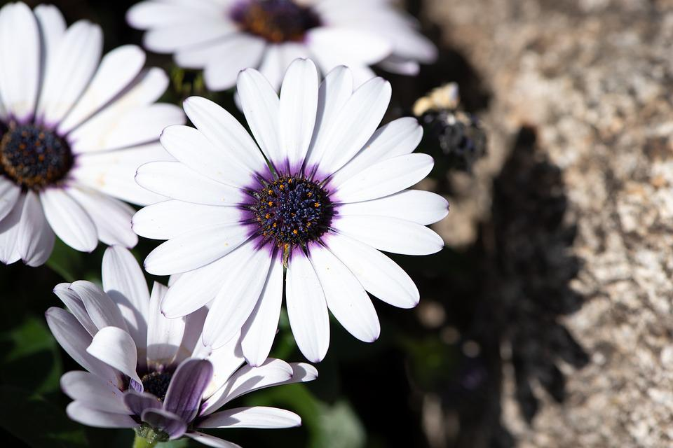 Cape Daisies, Flowers, White, Nature, Flora, Bloom