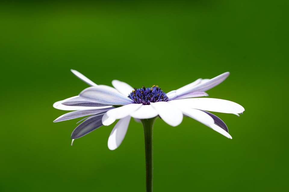 Flower, Blossom, Bloom, White, Osteospermum, Cape Daisy