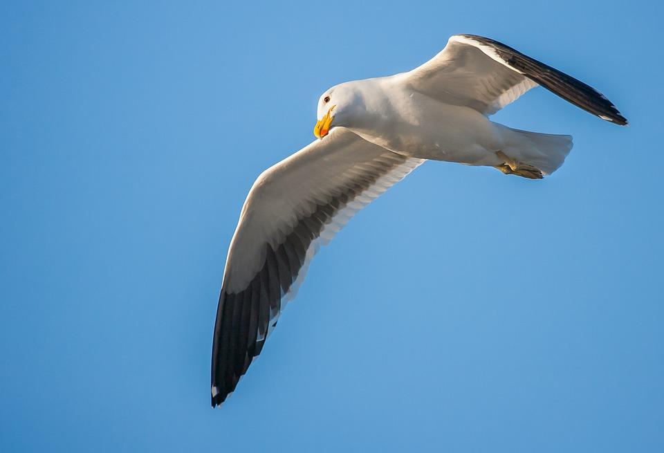 Kelp Gull, Cape Gull, Seabird, Seagull, In Flight