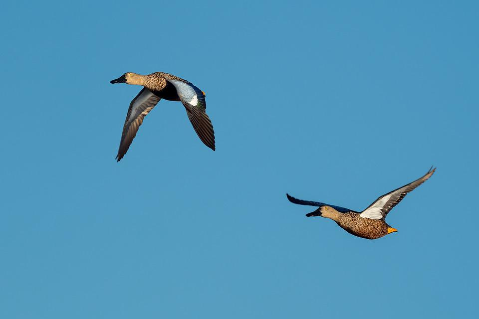 Cape Shoveler, Ducks, Birds, Sky, Flying, Flight, Blue