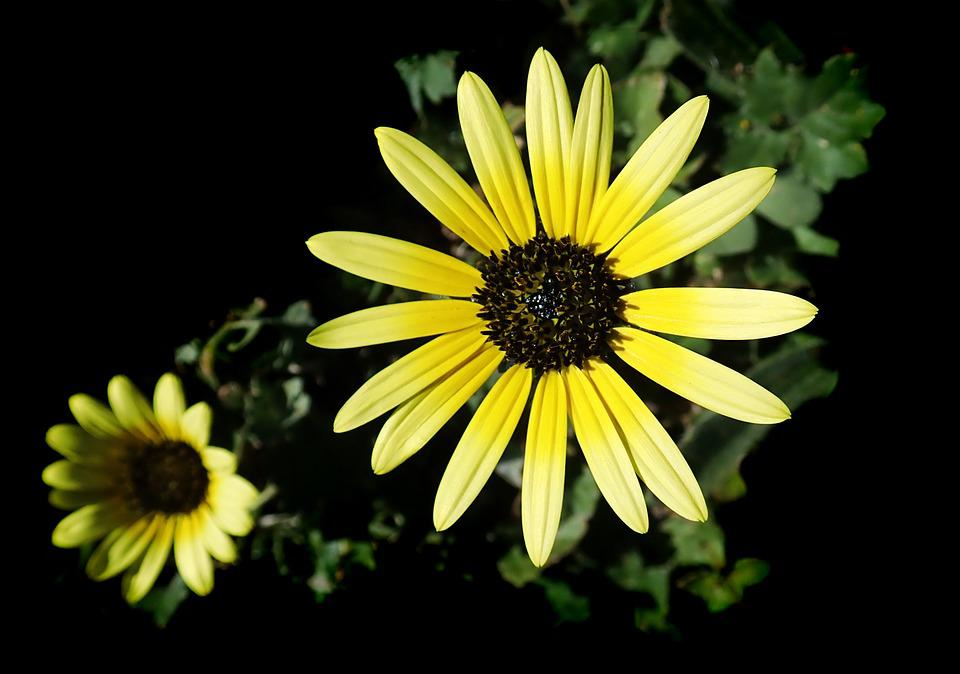 Daisy, Cape Weed, Garden, Nature, Flower