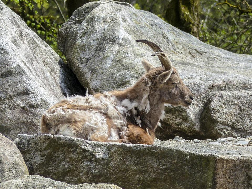Alpine Ibex, Capra Ibex, Animal, Mammal, Mountain Goat