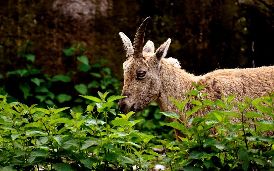 Capricorn, Horns, Animal, Animal World