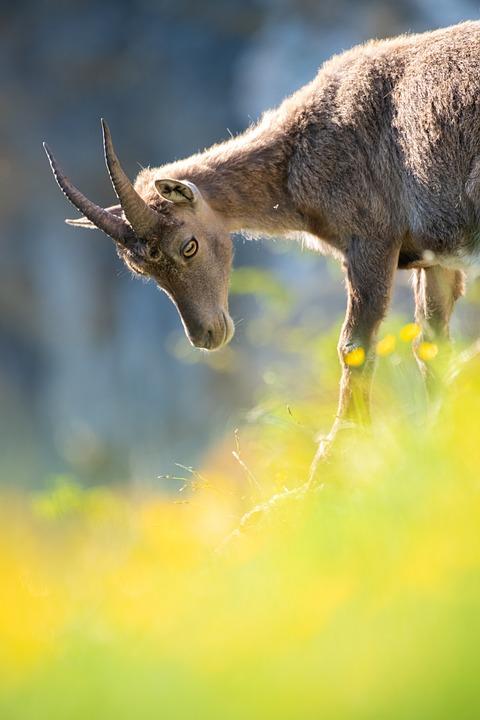 Capricorn, Young, Young Animal, Alpine, Alpine Ibex