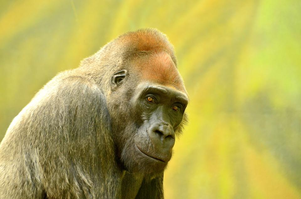 Free photo Captive Adult Animal Ape Big Closeup Black - Max